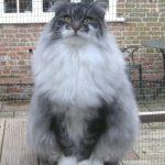 Норвежская лесная кошка - особенности породы