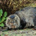 Норвежская лесная кошка - пушистая порода