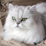 Персидская кошка - описание породы