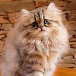Персидская кошка - уход