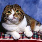 Шотландская вислоухая кошка - игривая порода