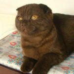 Шотландская вислоухая кошка - плюшевая порода