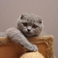 Шотландская вислоухая кошка - уход