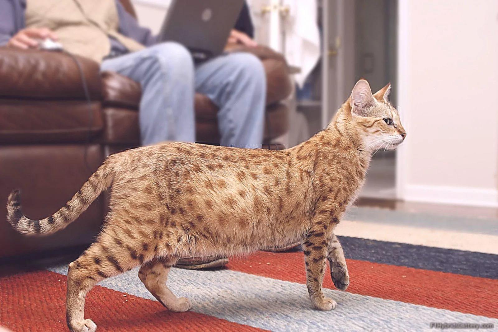 кошка саванна правила содержания