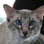 красивые глаза яванской кошик