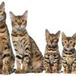 несколько бенгальских кошек