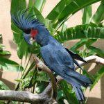 Черный пальмовый какаду - особенности вида