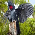 Черный пальмовый какаду - содержание