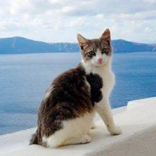 Эгейская кошка - древняя порода