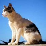 Эгейская кошка - особенности породы