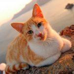 Эгейская кошка - преданная порода