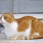 Эгейская кошка - сообразительная порода