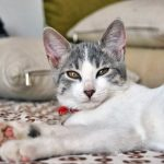 Эгейская кошка - умная порода