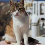 Эгейская кошка - верная порода