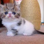 Экзотическая порода кошек - описание породы