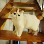 Экзотическая порода кошек - содержание