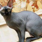 Канадский сфинкс - кошки без шерсти