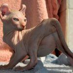 Кот-эльф - кошки с загнутыми ушами