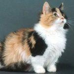 Манчкин длинношёрстный - кошка-такса