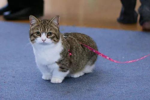 Кошка породы манчкин цена
