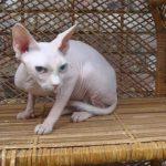Минскин - кошки-хоббиты