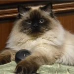 Невская маскарадная - спокойная порода