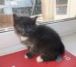 Охос азулес длинношерстный - кошка с голубыми глазами