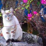 Охос азулес - кошки с голубыми глазами