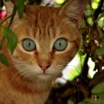 Охос азулес - описание породы