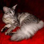 Ориентальная длинношерстная кошка - дружелюбная порода