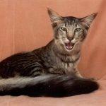 Ориентальная длинношерстная кошка - описание породы