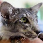 Ориентальная длинношерстная кошка - особенности породы