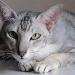 Ориентальная короткошерстная кошка - особенности породы