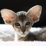 Ориентальная короткошерстная кошка - содержание