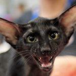 Ориентальная короткошерстная кошка - уход