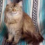 Шантильи Тиффани - красивая порода