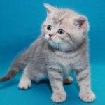 Шотландские прямоухие кошки - особенности породы