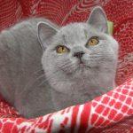 Шотландские прямоухие кошки - популярная порода