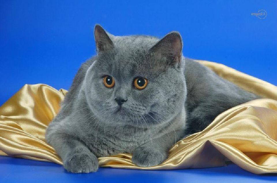 все о шотландских прямоухих котах какого