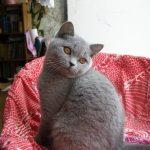 Шотландские прямоухие кошки - содержание