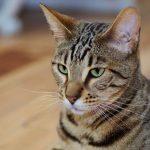 Серенгети - кошки-лидеры