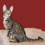 Серенгети - описание породы