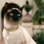 Сиамская кошка - древняя порода