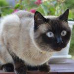 Сиамская кошка - игривая порода