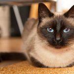 Сиамская кошка - особенности породы