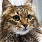 Сибирская кошка - описание породы