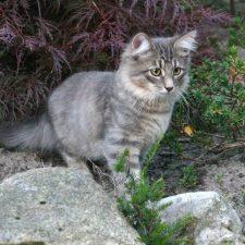 Сибирская кошка - содержание