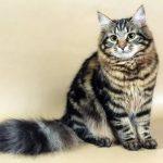 Сибирская кошка - уход