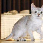 Сингапурская порода кошек - описание породы