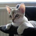 Сингапурская порода кошек - уход
